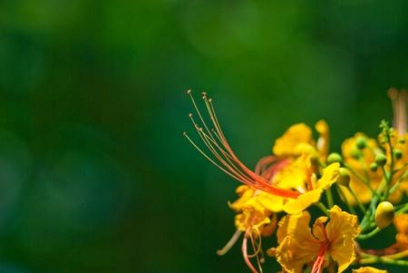Peacock fleur Banque d'images - 13124506
