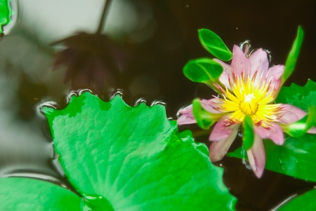 waterlily  Stock Photo - 13545569