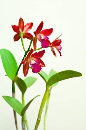 cattleya: Cattleya