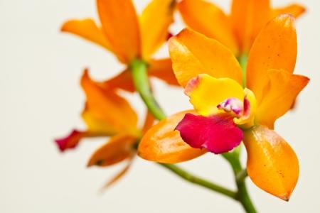 cattleya: Yellow cattleya Stock Photo