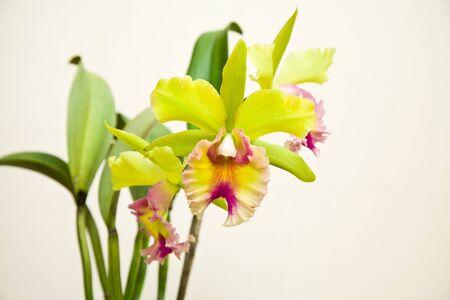 cattleya: Yellow - pink orchid, cattleya  Stock Photo