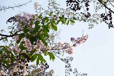 White and pink crape myrtle flowers  photo