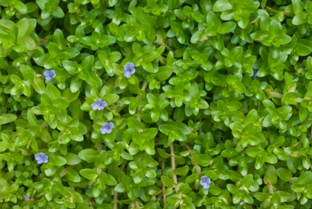 Bacopa caroliniana Roxb, Giant bacopa, Water hyssop