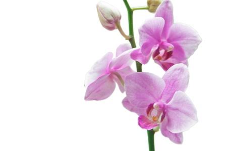nifty: Roze orchidee op wit wordt geïsoleerd