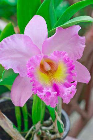 nifty: Pink Cattleya on green background, Orchid