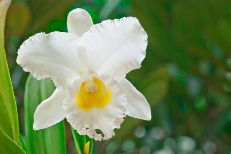 nifty: White Cattleya on green  background, Orchid