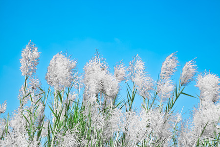 Flowers of grass with blue sky photo
