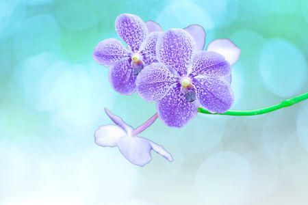 Vanda orchids isolated on blue