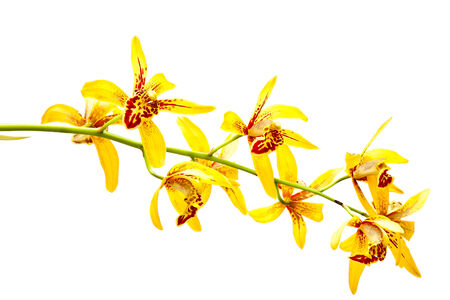 airiness: Yellow cymbidium orchid, Ground orchid isolated on white Stock Photo
