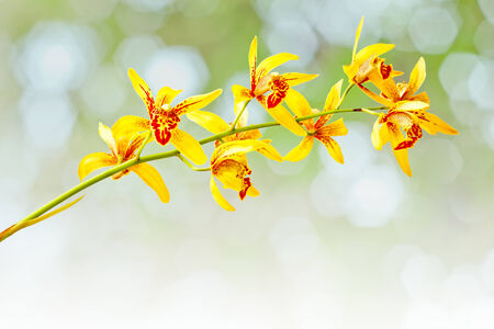 airiness: Yellow cymbidium orchid, Ground orchid