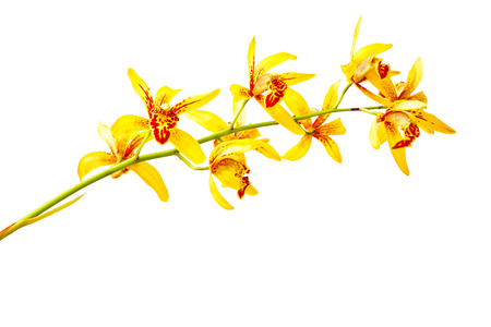 airiness: Cymbidium orchid, Ground orchid isolated on white
