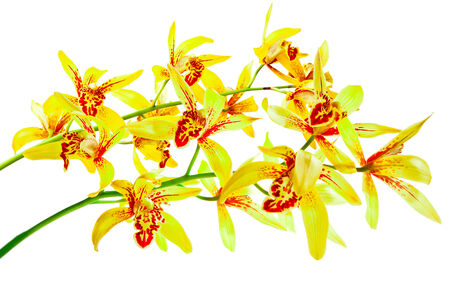 airiness: Yellow cymbidium, Ground orchid isolated on white