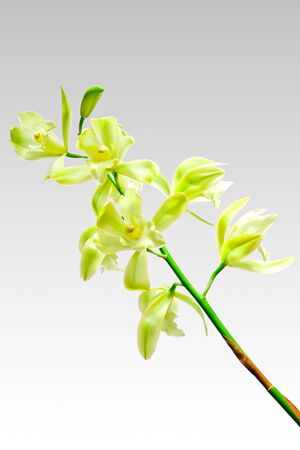 airiness: Cymbidium orchid, Ground orchid isolated on gray Stock Photo
