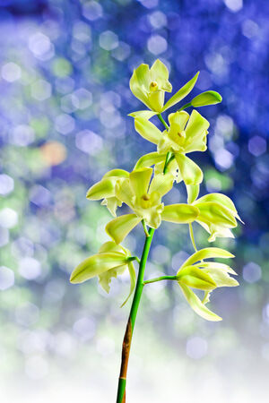 airiness: Cymbidium orchid, Ground orchid isolated on blue Stock Photo