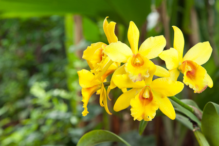 cattleya: Yellow cattleya orchid and green leaves Stock Photo