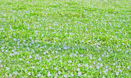invasive plant: Water Hyacinth