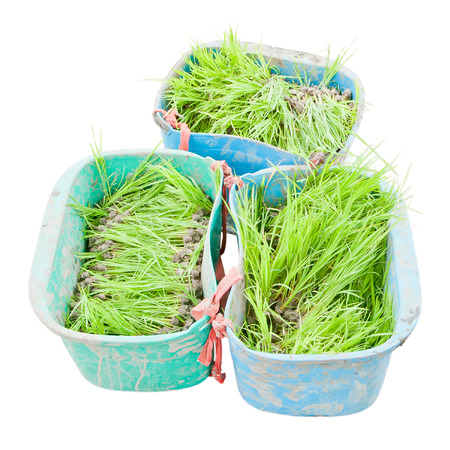 cultivated: Rice seedlings in the cultivated Stock Photo
