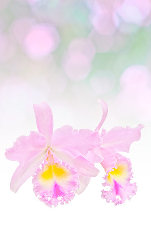 medium group of objects: Pink cattleya orchid Stock Photo