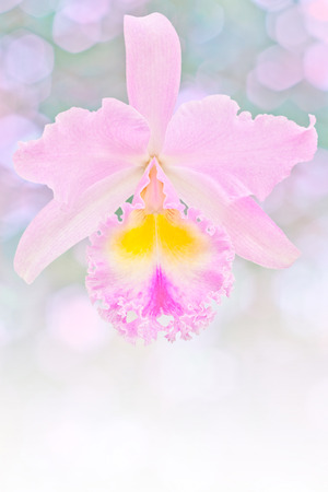 cattleya orchid: Pink cattleya orchid Stock Photo