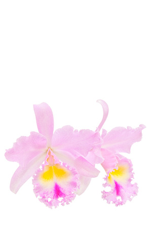 cattleya: Pink cattleya orchid isolated on white