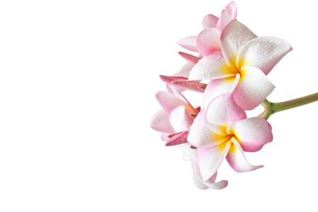 spp: Pink and yellow Plumeria spp. (frangipani flowers, Frangipani, Pagoda tree or Temple tree) isolated on white