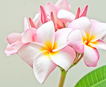 spp: Pink and yellow Plumeria spp. (frangipani flowers, Frangipani, Pagoda tree or Temple tree) on natural light