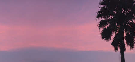 sugar palm: Sugar palm tree at sunset time
