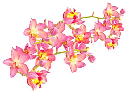 thai orchid: Red ground orchid isolated on white Stock Photo