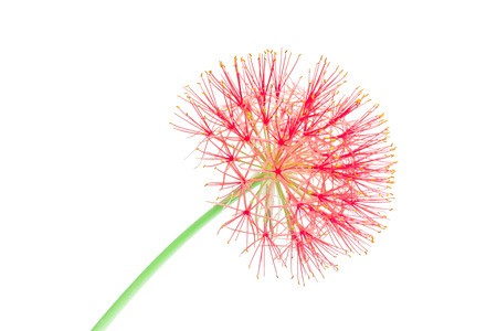 powder puff: Powder puff lily or Blood flower