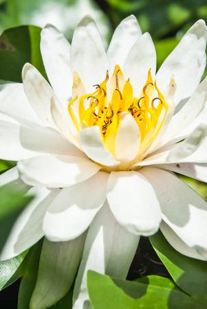 flor de loto: Nen�far blanco