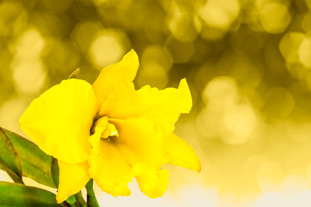cattleya orchid: Yellow cattleya orchid isolated on yellow Stock Photo