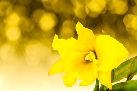 cattleya: Yellow cattleya orchid isolated on yellow Stock Photo