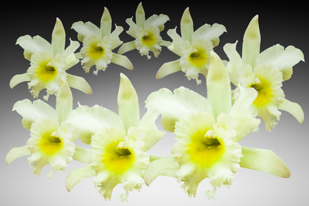 cattleya: White cattleya orchid isolated on black