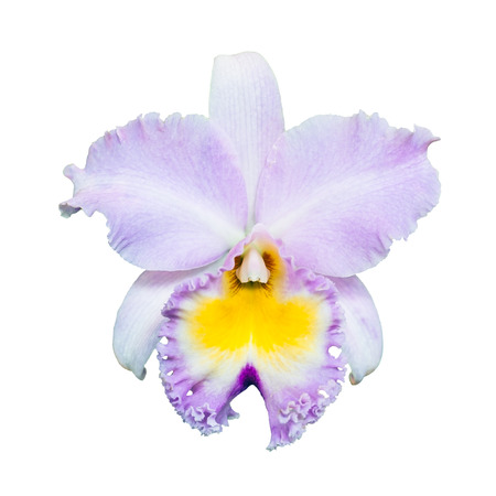 cattleya orchid: Pink Cattleya Orchid isolated on white