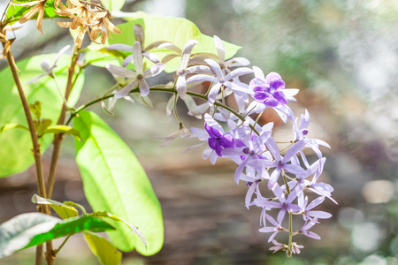 petrea volubilis: Petrea volubilis L. in natural background