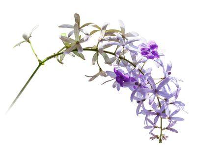 petrea volubilis: Petrea volubilis L. isolated on white
