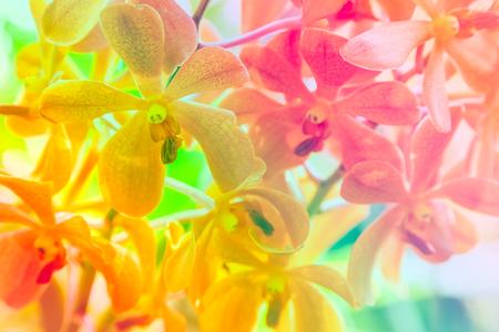Bella fiori d'arancio orchidee Vanda