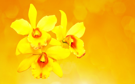 cattleya: Yellow cattleya orchid Stock Photo