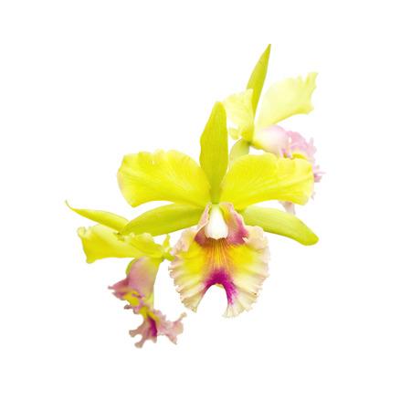 cattleya: Beautiful yellow - pink orchid, cattleya
