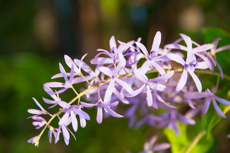 petrea: Petrea racemosa, Purple wreath or sandpaper vine flowers