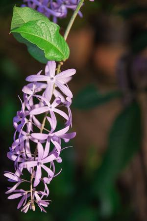 sandpaper: Petrea racemosa, Purple wreath or sandpaper vine flowers