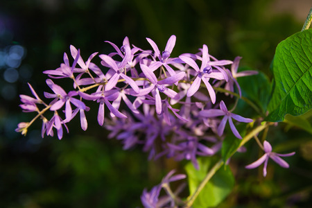 petrea: Petrea racemosa, Purple wreath or sandpaper vine flowers