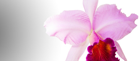 Pink cattleya isolated on white, Orchids
