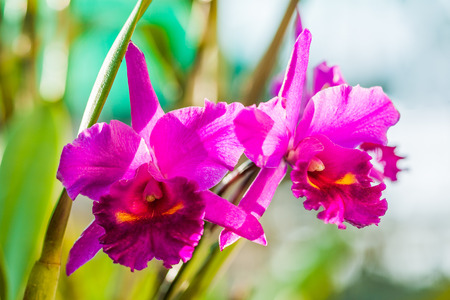cattleya: Red cattleya orchid in natural light