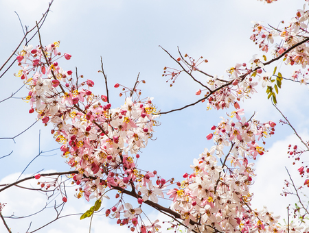 Kanlapaphruek flowering tree, Allowing it to leave early. When the flowers bloom, so we do not see it at all its leaves.