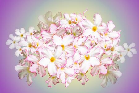 Desert Rose, Impala Lily, Mock Azalea Flowers isolated on purple