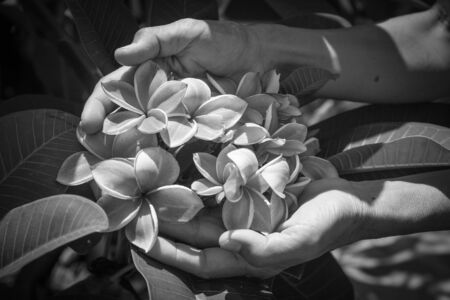 fragrant: Beautiful plumeria flowers or frangipani flowers on hands in natural light