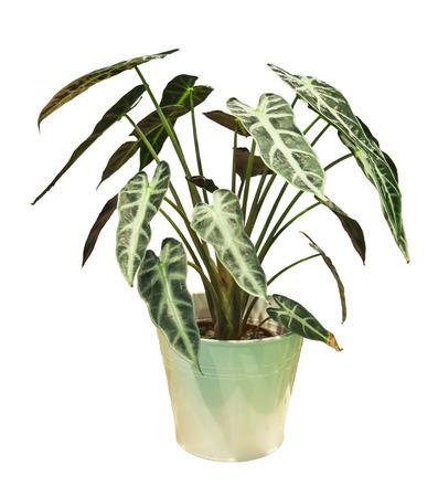Caladium arbre dans un pot blanc Banque d'images - 85112762