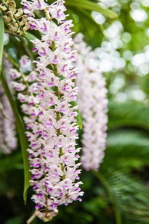 Epidendrum retusum L. or Rhynchostylis retusa (L.) Blume, Beautiful orchids