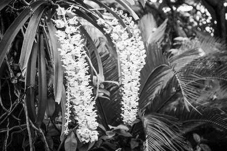 Epidendrum retusum L. or Rhynchostylis retusa (L.) Blume, Beautiful orchids in black and white